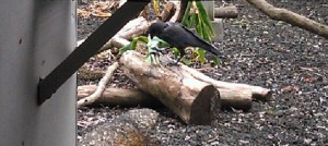 Hawaiian Crow playing with enrichment